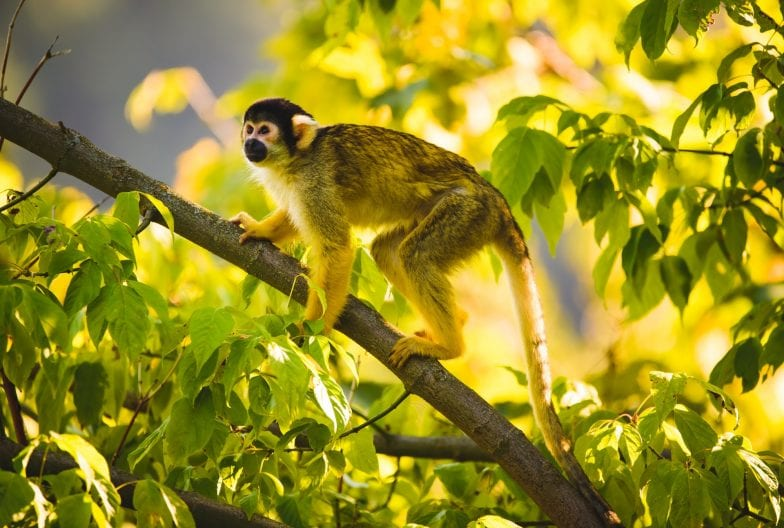 Black-capped squirrel monkey on a tree in Stubenberg tierpark